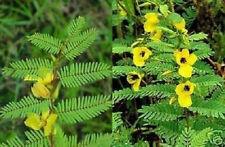 gelb blühender Mimosenbaum ...  bis zu 2 Meter hoch für Topf & Kübel / Samen
