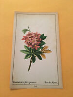KU) 1878 Botanique Pratique Rhododendron Ferrugineum Flower Colored Print