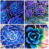 100 Pcs Seeds Blue Succulents Lithops Cactus Stone Flowers Pseudotruncatella NEW