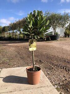 Small Bay Tree 40-50cm