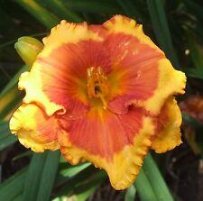 Daylily Plant Lollipop Kisses 2 Fans Perennial Selman Yellow Red Flower
