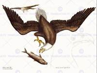 PAINTING ANTIQUE NATURE CATESBY WHITE HEADED EAGLE DIAGRAM ART PRINT LAH500B