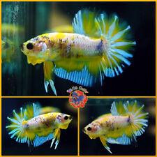 New listing Live Betta Fish Male Fancy Blue Marble Yellow Mustard Halfmoon Plakat #E606