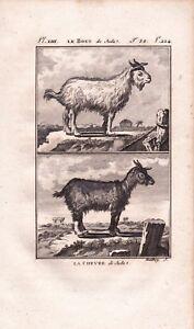 Gravure XVIIIe Chèvre de Juda Bouc de Juda Buffon Goat Capra Hircus Goat  1790