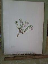 Vintage Print,BEARBERRY(flower)North American Wild Flowers,1925,Walcott