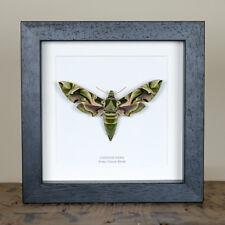 Army Green Moth in Box Frame (Daphnis Nerii) Entomology Frame