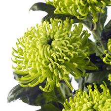100PC Chinese mum Seeds Rare Perennial Flower Seeds GREEN Chrysanthemum seed
