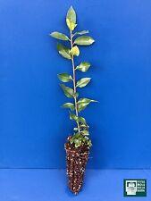RHAMNUS ALATERNUS alv Pianta Plant Alaterno Ranno lanterno Italian buckthorn