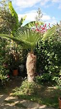 Trachycarpus fortunei Naini Tal - Chusan Palm - 10 Seeds
