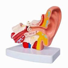 Human Professional Ear Joint Simulation Model Anatomy PVC Plastic US STOCK