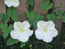 Calonyction aculeatum White Moon Vine 15 seeds