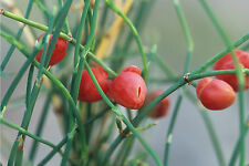 Ephedra Sinica 10/50/100/250/500 Seeds, Ma-Huang Medicinal Mormon Tea, Herb