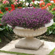 3 pks Alyssum Violet Queen Seeds/Fragrant plant for balconies beds borders 2019