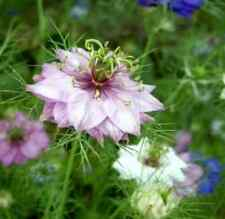 LOVE IN A MIST FLOWER SEEDS MIXED COLORS 50 FRESH SEEDS FREE SHIPPING