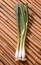 Vegetables - Salad Onion - Summer Island - 100 Seed - Economy Pack