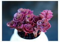 8cm Echeveria Schorbusser Blut Succulent live Plant Home Garden Flower Rare pot