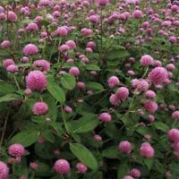 Gomphrena Globosa- Rose- 50 Seeds      - BOGO 50% off SALE