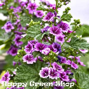 MALLOW - Hollyhock - 70 seeds - Malva Sylvestris Zebrina Annual/biennial flower