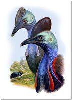 "Vintage John Gould Australian Bird Art CANVAS PRINT~ Cassowary 24""X18"""