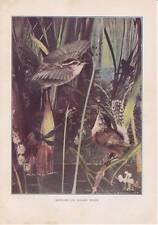 "1904 Antique Print ""Long-Billed Marsh-Wren"" 1900-1949 Birds Vintage; Banchan"