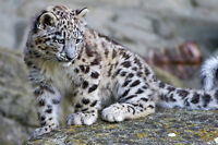 Framed Print - Super Cute Snow Leopard Playing on the Rocks (Picture Poster Art)