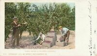 CALIFORNIA CA - Picking Prunes in Southern California - udb - 1905