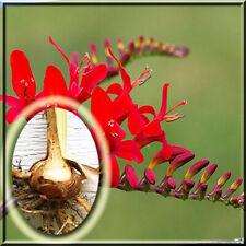 10 Crocosmia Lucifer Live Plant Large Bulb