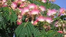 mind. 100 Samen Seidenakazie, Schlafbaum  (Albizia julibrissin)