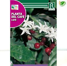 Planta del Café  ( Coffea arabica ) 4 semillas seeds ** Cafetero ** cafe