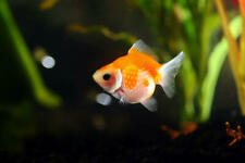 "3 Pearlscale Goldfish (2""-2.5"") Live Fish 2Day Fedex shipping"