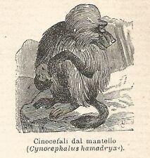 A6809 Cinocefali dal mantello - Stampa Antica del 1925 - Xilografia
