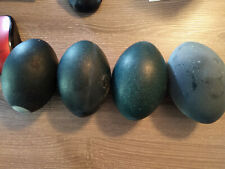 Emu Egg Shells, Hollowed and Blown out. FREE SHIPPING