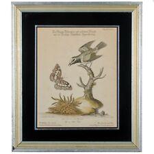 George Edwards, Flycatcher-Golden Winged Butterfly c.1768