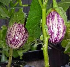 Eggplant Seeds 50 Seeds Shooting Stars Striped Egg Plant