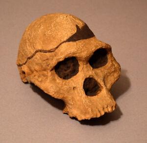"""Australopithecus Africanus. """"Mrs. Ples"""" Skull Replica - Economy"""