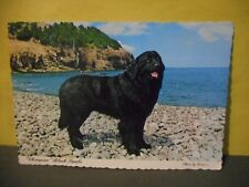 Champion Newfoundland Dog,Black Sambo,Vintage Postcard