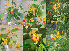 .FRESH 500+ JEWELWEED SPOTTED TOUCH-ME-NOT FLOWER SEED/poison ivy/butterflies