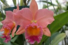 Pot. Goldernell `Southern Cross' Am/Aos Cattleya Orchid Plant