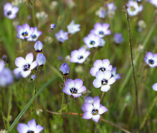 BIRD'S EYE Gilia Tricolor- 20,000 Bulk Seeds