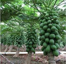 10 Seeds Dwarf Bonsai Papaya Fruit Seed High Growing Beautiful Dwarf Papaya