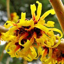 "10 Primavera Witch Hazel Seeds - Hamemelis X intermedia "" primavera """