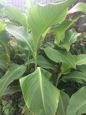Queensland Arrowroot - Edible Canna (Canna Edulis) 3 bulbs, not to NT, WA TAS