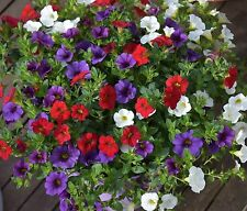 PETUNIA Kabloom Calibrachoa Series MIXED COLOURS  21 QUALITY fresh Seeds