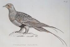 Sandgrouse Bird, 1826 ORIGINAL PRINT, Antique ENGRAVING, Matted 8X10 Ornithology