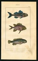 1844 Crescent Perch Target Fish, Hand-Colored Antique Engraving - Lacepede