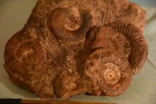 RARE, bloc 7 ammonites grammoceras penestriatulum  toarcien