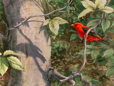 Scarlet Tanager Limited Edition Print