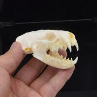 1pcs Real mink skulls, fine animal specimens, skull gifts skulls &008