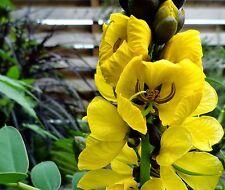 Cassia didymobotrya (Senna popcorn plant) yellow flower popcorn cassia 20 seeds