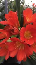 1x Clivia m. Dark Orange-Almost Red 1.5 Year Old Plant. National Collection.